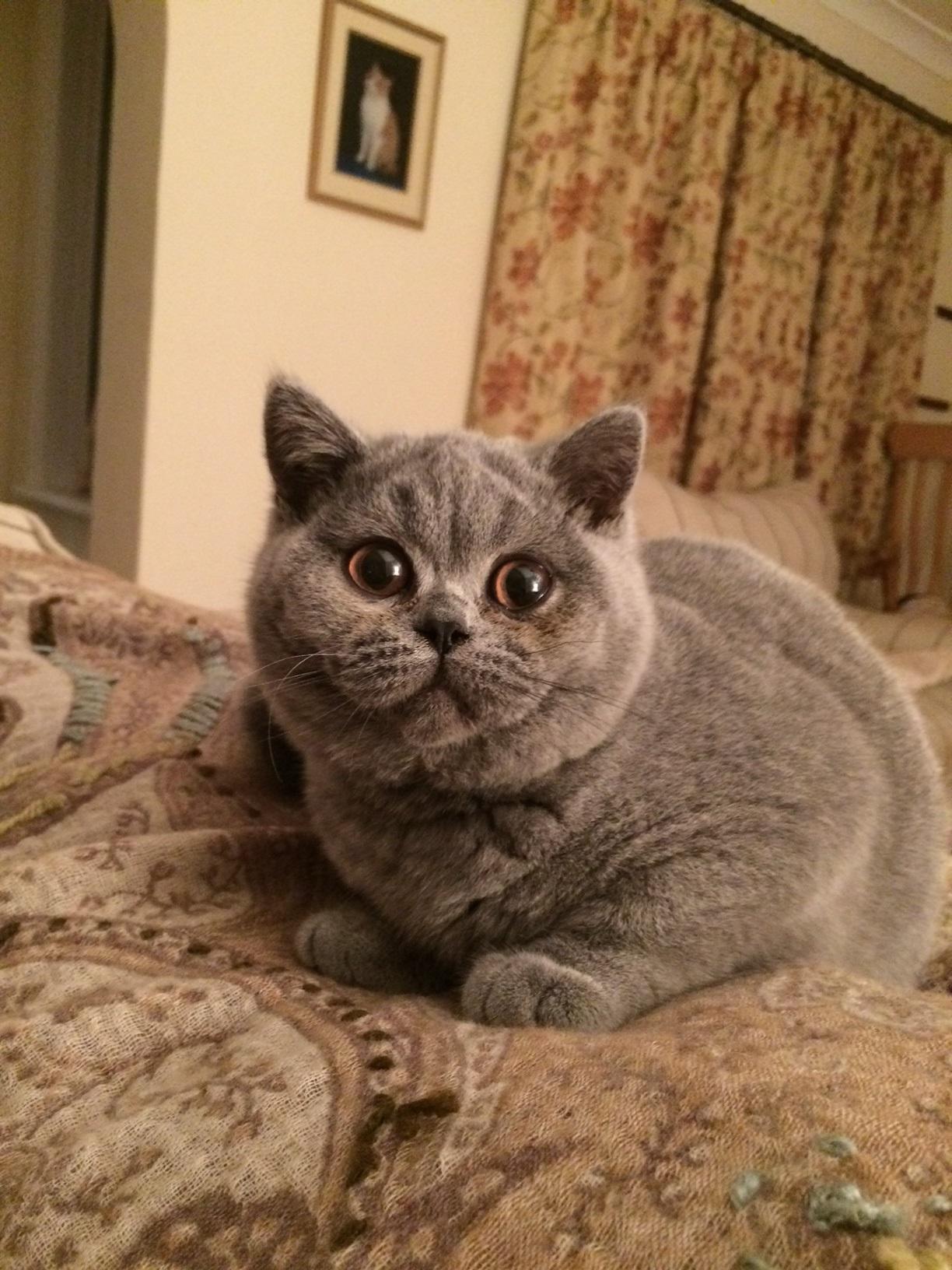 Loraston British Shorthair & Burmese Cats & Kittens in Hampshire