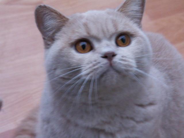 Loraston British Shorthair Cats & Kittens in Surrey